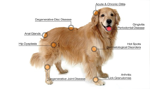 Laser Therapy for the treatment of pain in Pets     Royal York Animal Hospital
