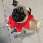 Fred the Pug
